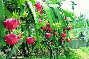 火龙果皮红色素生产厂家 食品级火龙果皮红色素厂家