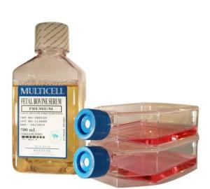 (A7r5細胞)大鼠胸大動脈平滑肌細胞