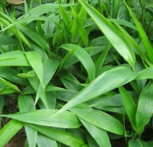 淡竹叶提取物价格