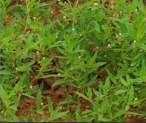 白花蛇舌草提取物解毒价格