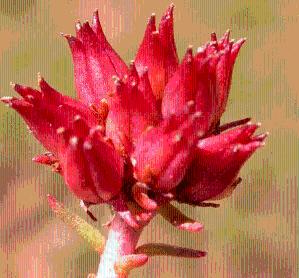 红景天提取物 产品图片