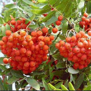 花楸果提取物短腺小米草提取物现货