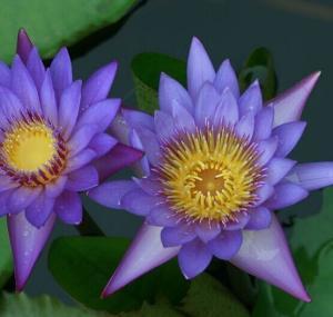 蓝莲花提取物