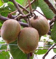 猕猴桃酵素粉 产品图片