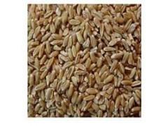 小麦提取物  小麦速溶粉  小麦蛋白