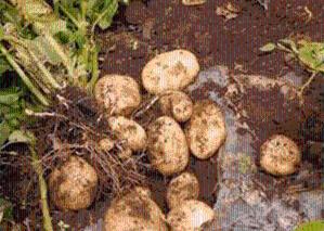 马铃薯蛋白90% 土豆蛋白   马铃薯提取物