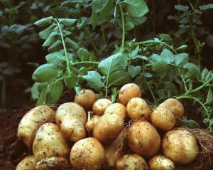 土豆提取物    量大从优 欢迎采购 产品图片