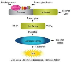荧光素酶实验--启动子活性研究,miRNA-3UTR结合研究等产品图片