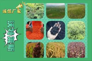 苦荞苗粉  苦荞苗提取物   基地种植