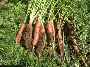 胡萝卜汁粉   基地种植  胡萝卜膳食纤维
