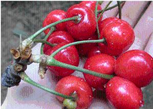 针叶樱桃粉厂家直销 提取