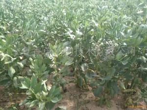 蚕豆育苗基地
